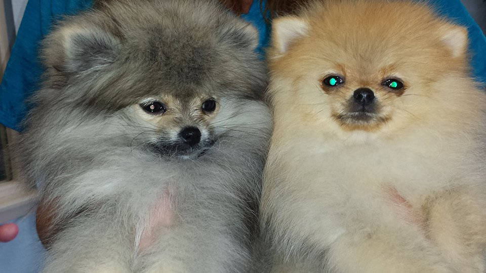 Danville Paw Spa has over 35 years of experience and are no stranger to Danville, CA. Give us a visit today!  http://www. danvillepawspa.net/gallery     #DogGroomingSalon #DogGroomers #PetGroomer<br>http://pic.twitter.com/dvfwDN00iM
