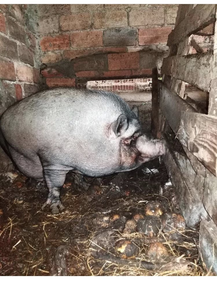 EMERGENCY 🚨 🐽 we've also been asked to save these pigs from an horrific #AnimalAbuse case. They've lived in this state their whole lives & we are their last hope .. PLEASE PLEASE RT & Donate so we can bring them home #pigs more here ▶️instagram.com/p/B3cx3pfIXpR/…