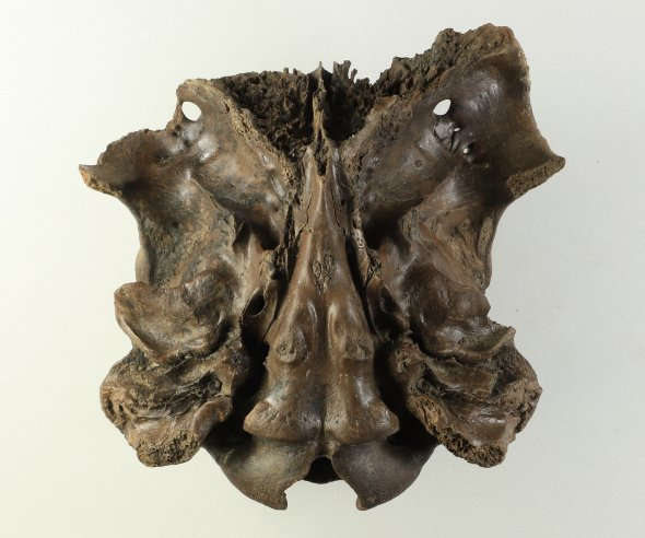@CuratorNeil This stunning and exceptionally preserved specimen is the underside view of a Red deer skull, from Abingdon, Oxford, 80-90,000 years ago.