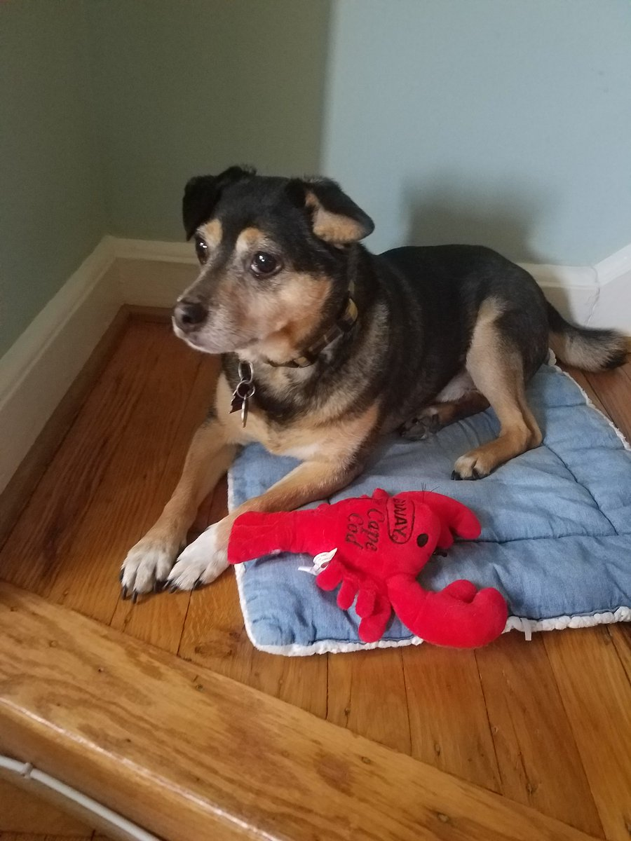 <a target='_blank' href='http://twitter.com/dog_feelings'>@dog_feelings</a> We are a day late. Charlie spends a lot of time on Cape Cod. When he's not there he carefully guards his lobster friend we caught there. <a target='_blank' href='https://t.co/x6kB9ElmVl'>https://t.co/x6kB9ElmVl</a>