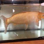 金魚すくいですくった金魚を飼った結果?めっちゃデカくなった!