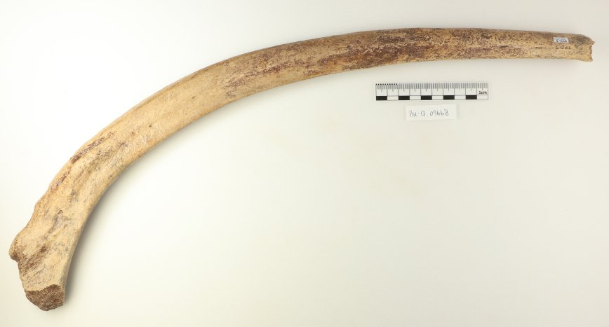 @CuratorNeil Here is a well preserved Mammoth rib, from Latton, Oxford, approx. 200-240,000 years ago. It gives a good idea of size of this animal. A huge mammoth skull awaits!