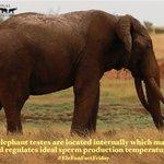 Image for the Tweet beginning: Happy #EleFunFactFriday! Male elephant testes