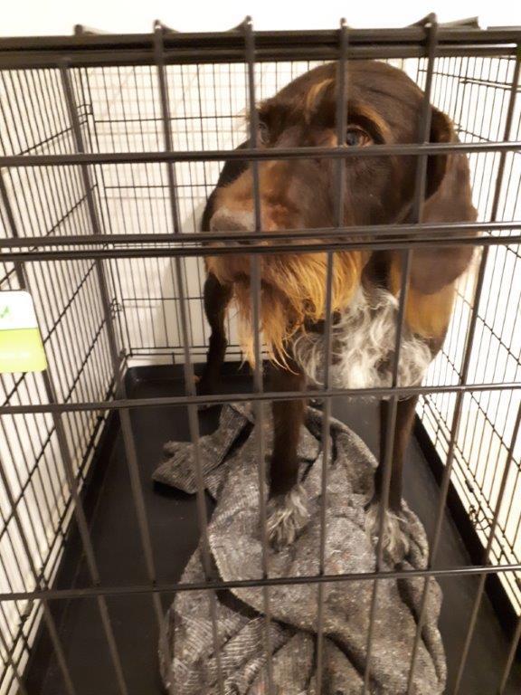 "Denne rare hanhund savner sin ejer. Indbragt fra Holbergs Alle i Esbjerg. Formentlig en ""hønsehund"" blanding. Kender du hunden så ring 114. #politidk https://t.co/7Bghes0Dvo"