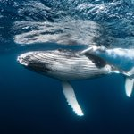 Image for the Tweet beginning: The world's largest #whales are