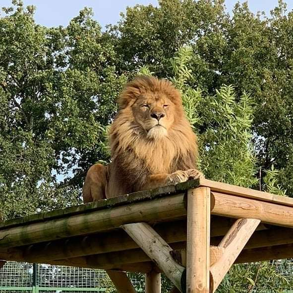 The King of the Jungle watching over his kingdom  #africanlion #pantheraleo #kingofthejungle #lionking #saturdayvibes<br>http://pic.twitter.com/jfKwmBgNP9