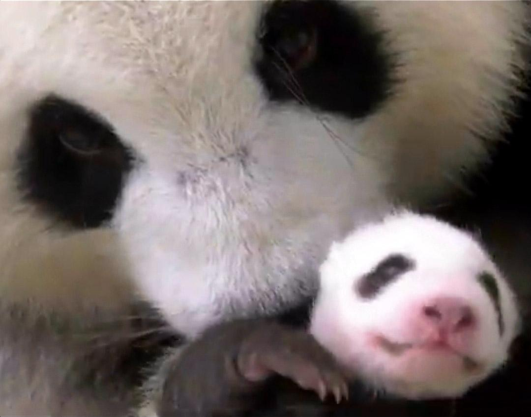 Zoo releases video of adorable baby pandas cuddling with mom - Top Tweets Photo