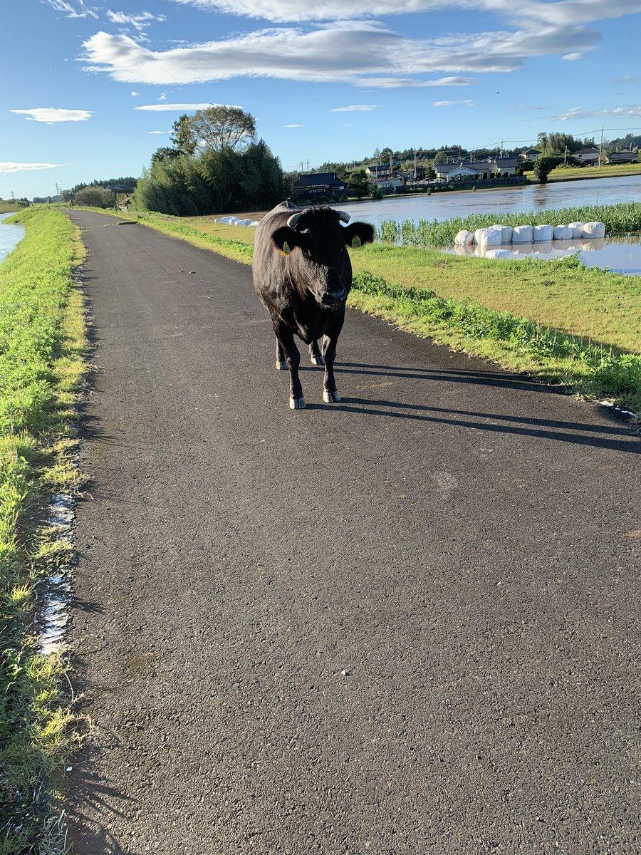 堤防の上に牛がいるんだけどこう言う場合どうすれば良いんだ