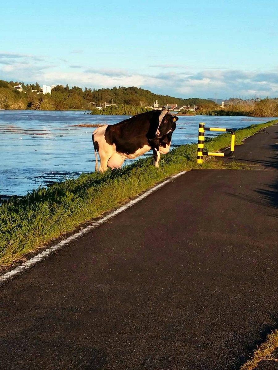茨城の那珂川。牛が流れて来たらしい😱…妹から