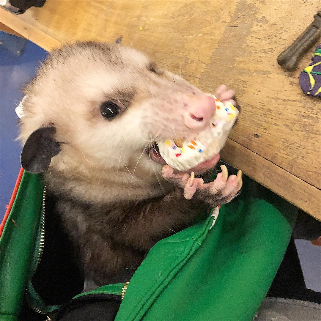 Possum Every Hour (@PossumEveryHour) on Twitter photo 13/10/2019 01:20:44