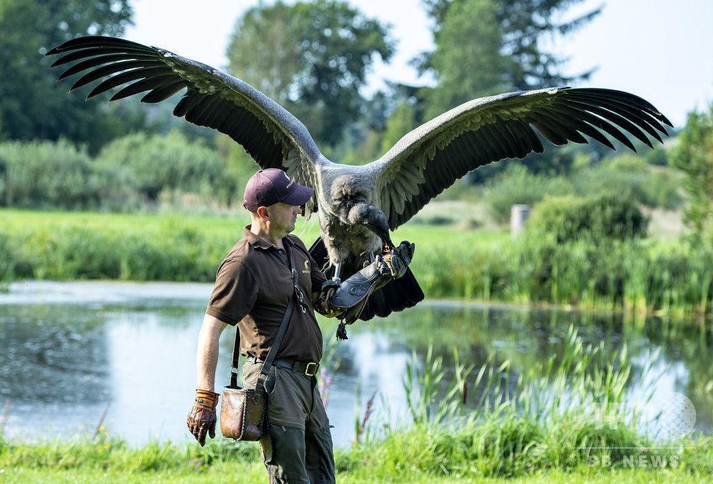調教師と一心同体で訓練中、保護区のコンドル デンマーク(写真11枚)デンマーク・北ユトランド地域にある鳥類保護区で、調教師と訓練に励むコンドルの「モリーナ」。コンドルは世界最大の猛禽(もうきん)類。