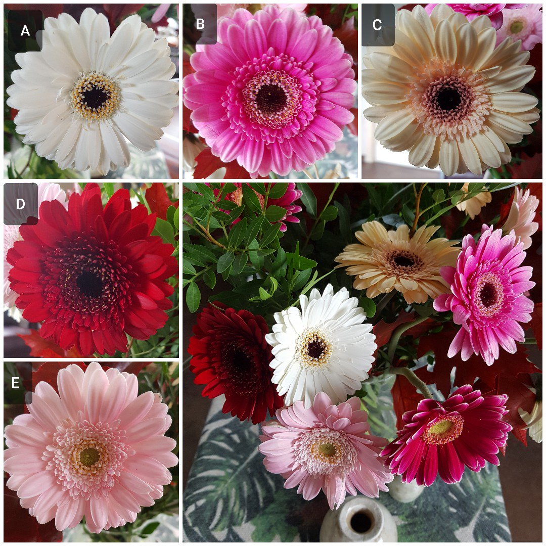 Which Gerbera do you like best? A B C D E <br>http://pic.twitter.com/EHldQHbJe6