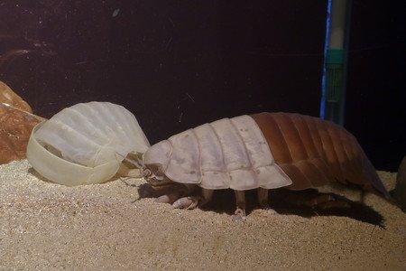 【珍しい】ダイオウグソクムシが脱皮、世界で5例目 鳥羽水族館後ろ半分のみが脱皮しており前半分も脱皮すれば世界初となる。メキシコ湾で採集されたオスで体長約30cm、体重約1kg。
