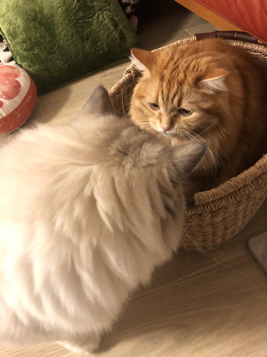 実家の猫とのカゴ争奪戦勝者 ちくわ