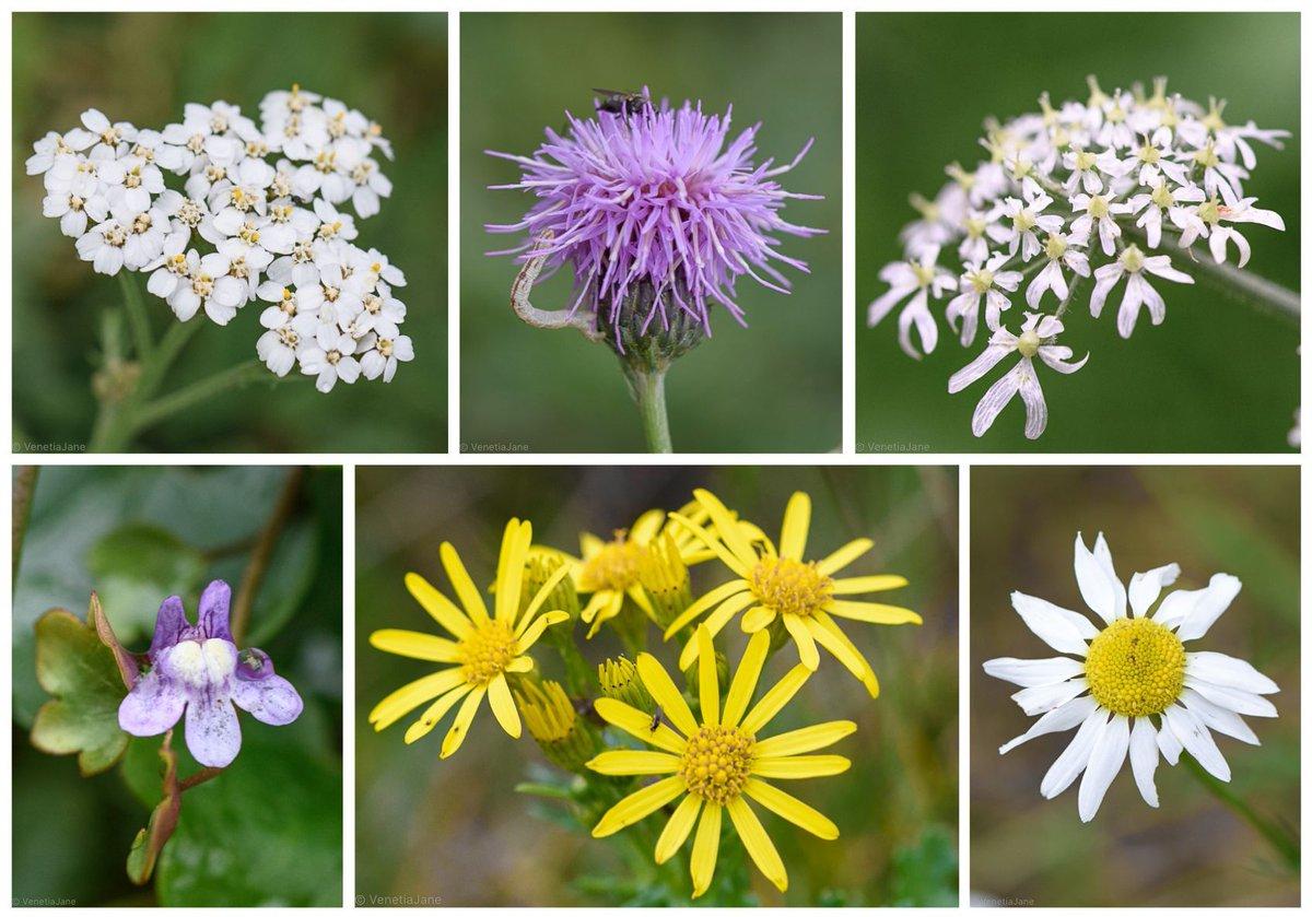 A wet, blustery October weekend's offerings: Yarrow (Achillea millefolium), Creeping Thistle (Cirsium arvense), Hogweed (Heracleum sphondylium), Ivy-leaved Toadflax (Cymbalaria muralis), Ragwort (Jacobaea vulgaris) & Scentless Mayweed (Tripleurospermum inodorum). #wildflowerhour <br>http://pic.twitter.com/0yYqUX3rtg