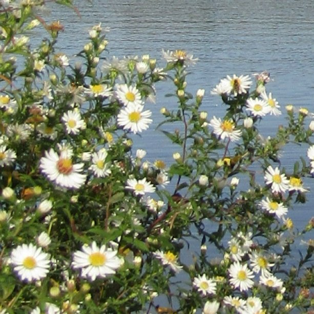 Lots of Michaelmas Daisies for the bees to enjoy at Manvers Lake #wildflowerhour <br>http://pic.twitter.com/urTD7WE4r4