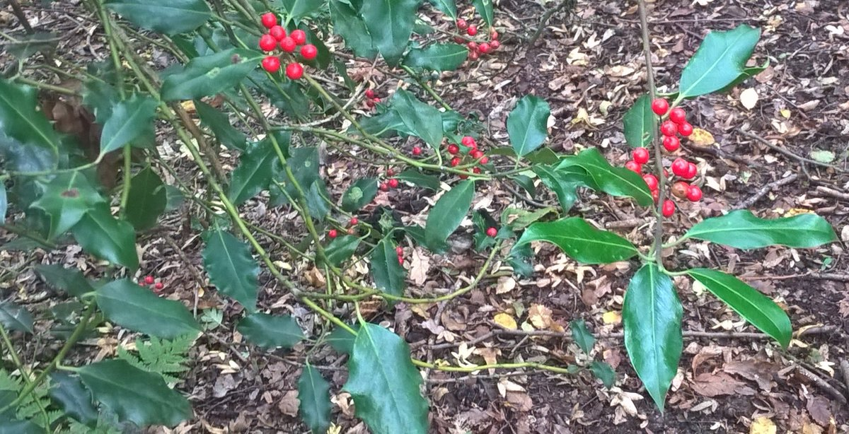 Some autumnal delights for #wildflowerhour Holly (Ilex aquifolium) berries and oak (Quercus robur) acorn <br>http://pic.twitter.com/0mJ2blVXF7