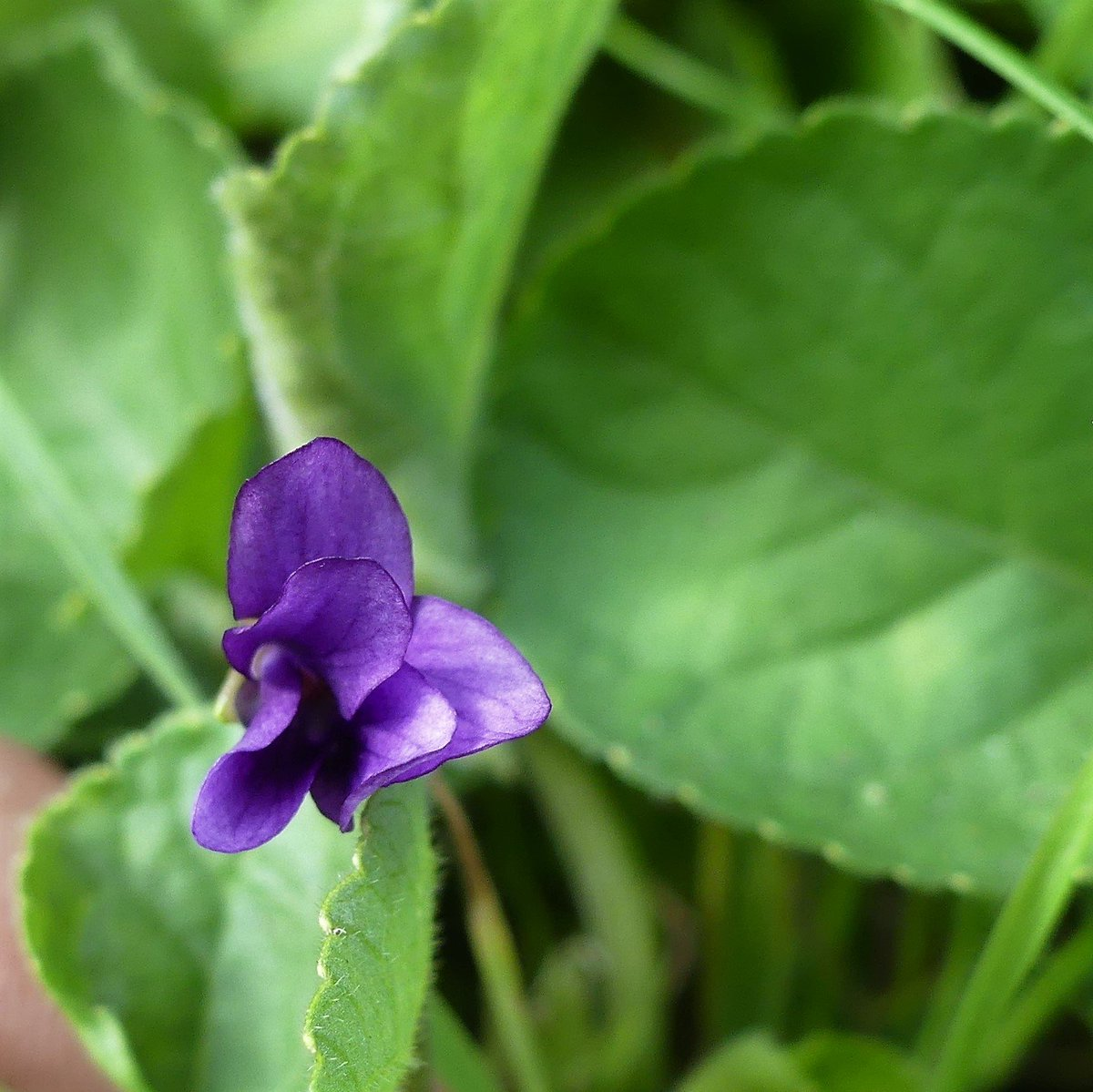 I usually spot the first Sweet Violets, Viola odorata var.praecox, at East Chiltington churchyard during the #newyearplanthunt but these were out this week. #wildflowerhour <br>http://pic.twitter.com/w8tQQj6tn3