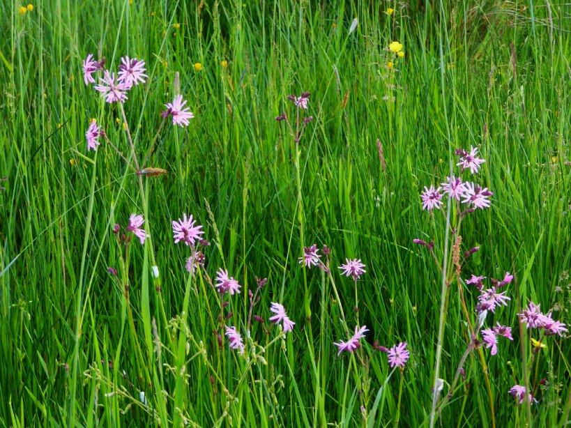 #wildflowerhour Ragged Robin  Extinction rebellion of our wild flower meadows  #organicfarming<br>http://pic.twitter.com/hFEWxT7Iv4