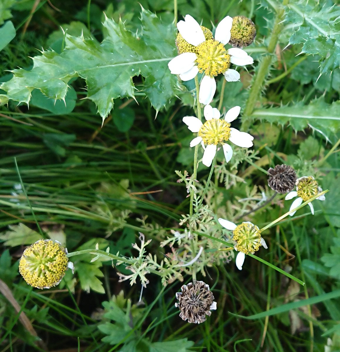 A worse for ware stinking chamomile, anthemis cotula, among the thistles. #wildflowerhour <br>http://pic.twitter.com/k6d2NZ12aW