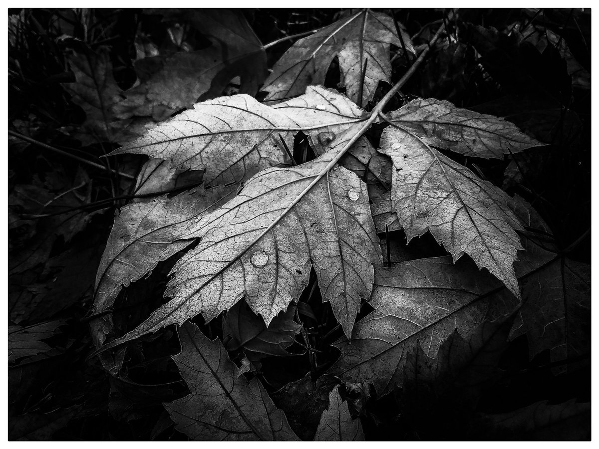 #photography #nature #beauty #blacknwhite #leaves #water #rain #droplets #contrast #lightanddark #frame #white #fall #season #walk #town #city #idahome #moscowidaho #friday #weekend