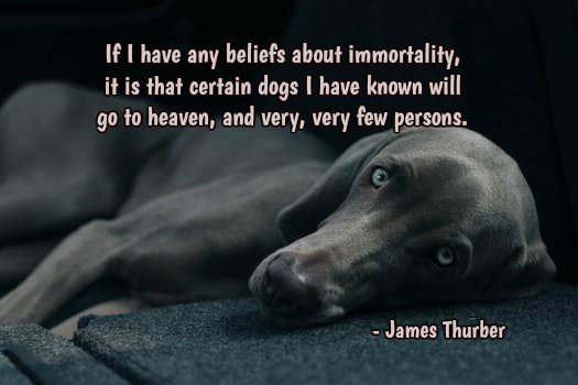 If I have any beliefs about immortality, it is that certain dogs I have known will go to heaven, and very, very few...-James Thurbenr ~ #Dogs #AdoptLove