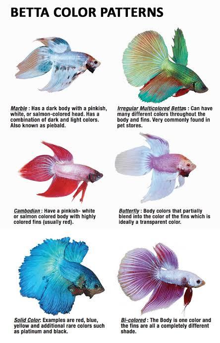 Ryukin On Twitter Mengenal Ikan Cupang Dan Cara Merawatnya A Thread Fishthread Sebelumnya Disini W Sharing Pengalaman W Sebagai Fish Owner Dan Beberapa Info Dari Sumber Yang Sudah Terpercaya