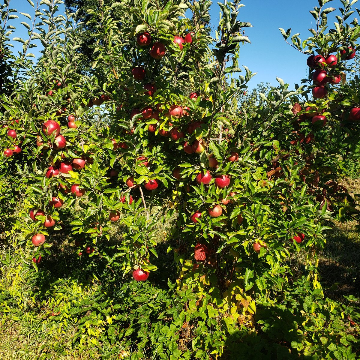 Enjoy spending time with your kids. It's apple picking season! Count apples. Learn colors and verbal concepts: up and down,  below and over,  on top,  next to,  near and far,  short and tall.   #applepicking #familytime #apples #appletree #brilliantkids #brilliantkidsnyc #math https://t.co/p8v1YCfKY0