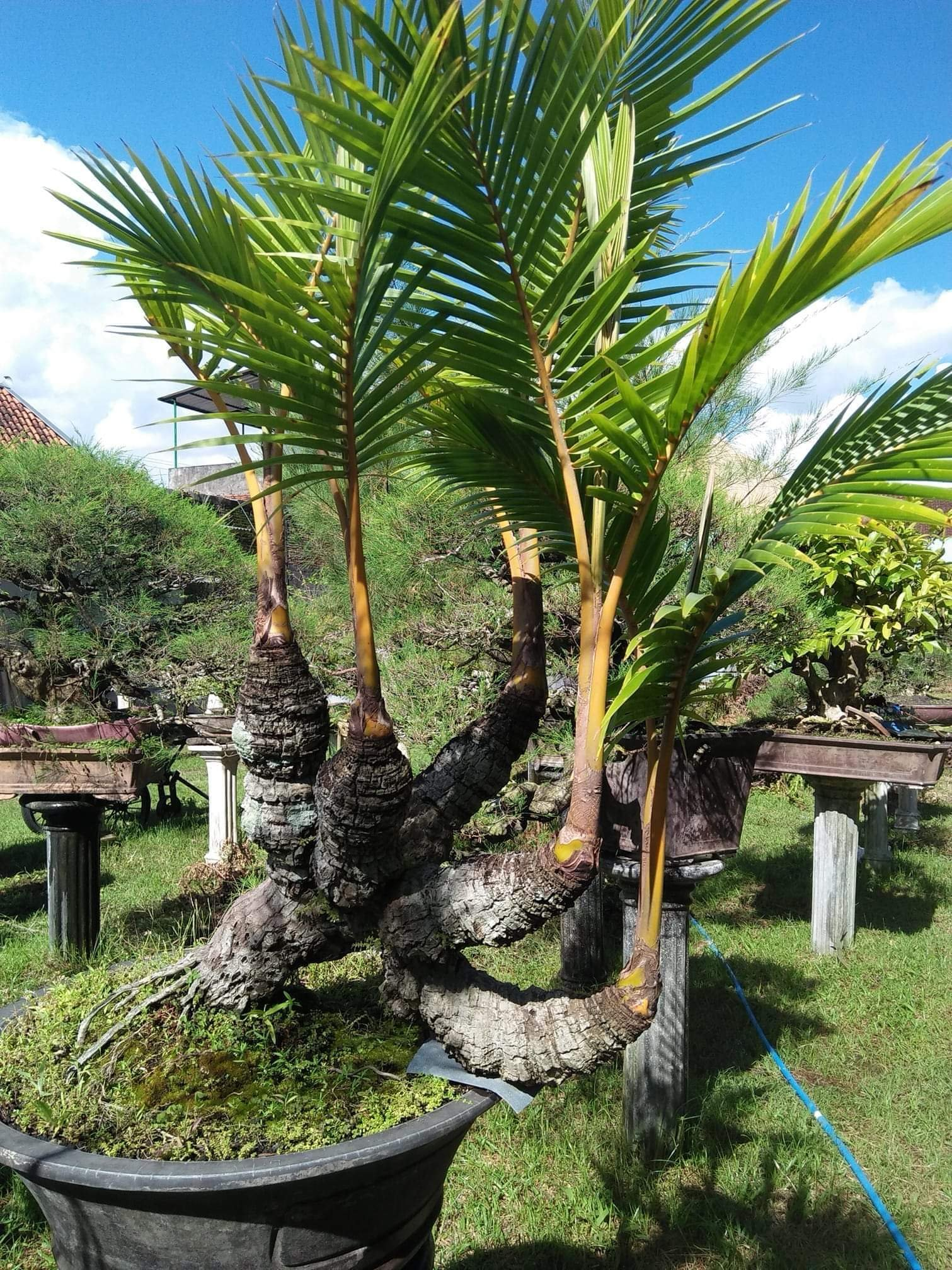Coco Bonsai On Twitter Five Crowns The Rare Coconut Tree
