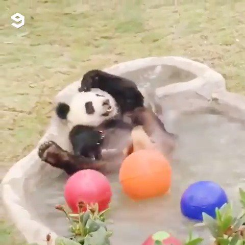 Pandas are basically little drunk people and here's the proof.