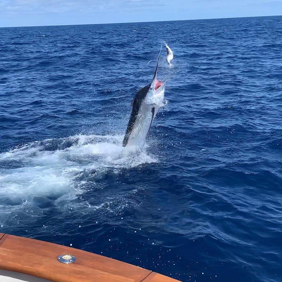Cairns, Aus - Zulu released a Black Marlin. #CairnsFishing #BlackMarlin