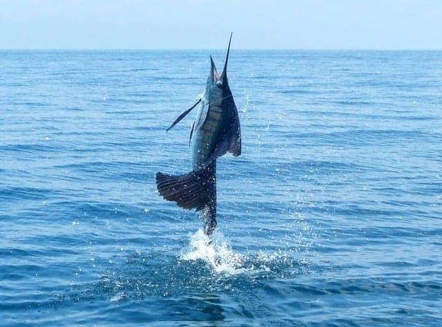 Kuala Rompin, Malaysia - Capt. Mike Tan of Bluesails Sportfishing went 6-9 on Sailfish over 2 Days.