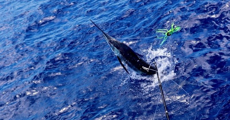 Canavieiras, Brazil - Capt. Shawn Wallace on Camargue released a Grand Slam with a Blue Marlin, Sailfish and 2 White Marlin.