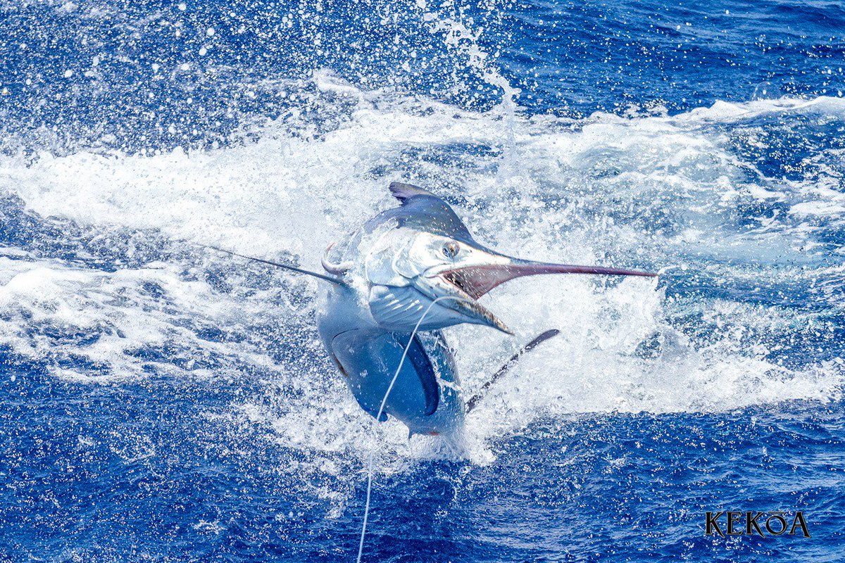 Cairns, Aus - Kekoa released a Black Marlin. #CairnsFishing #BlackMarlin