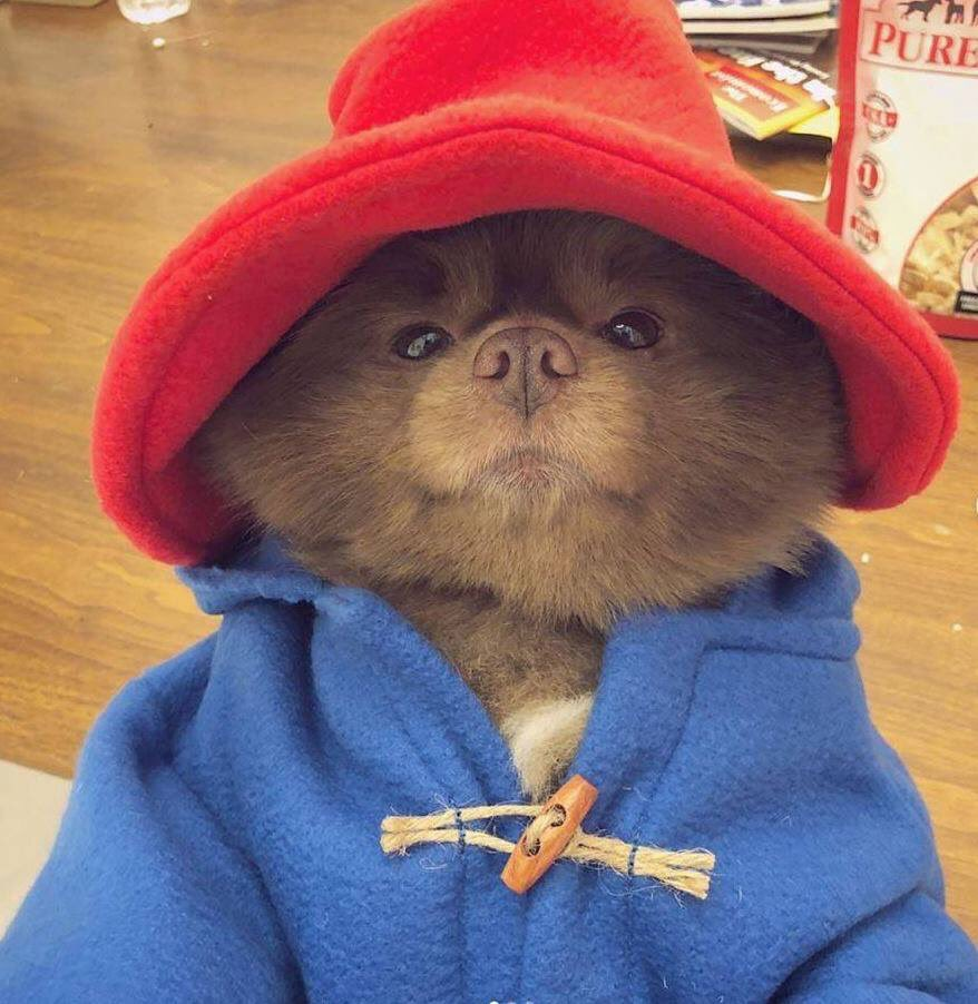 Someone dressed a Pomeranian dog up as Paddington Bear and now the world seems a slightly better place to be in than it did yesterday... https://t.co/pogwFFv9GN