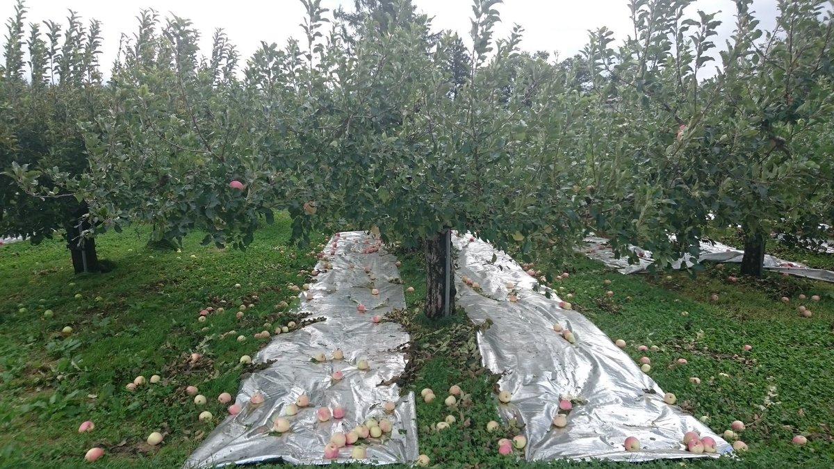 1年かけて育てた林檎達。収穫間近で台風19号被害で木に残らないほど落ちてしまいました。両親と私では手に終えず、半分以上は土に埋める事になりそうです。「食べても甘いから何とかしたい。」と仲間が特設サイトを作ってくれました。皆様に林檎が届く事を願ってます。