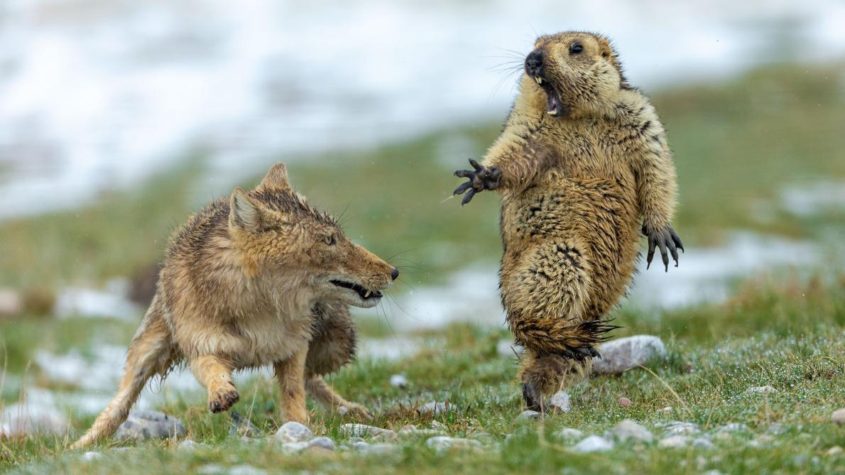 """In a world of fake news and false claims, heres a moment of truth. This rare image, titled """"The Moment-- a marmot stands frozen in fear, slack-jawed and balanced on one foot, as a Tibetan fox moves to attack. #YongqingBao #WildlifePhotographWinner2019"""