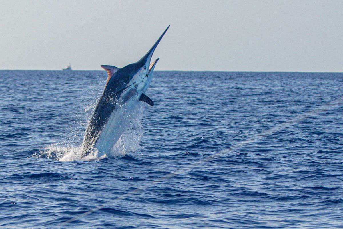Cooktown, Aus - Katana released a Black Marlin (800). #CooktownFishing #BlackMarlin