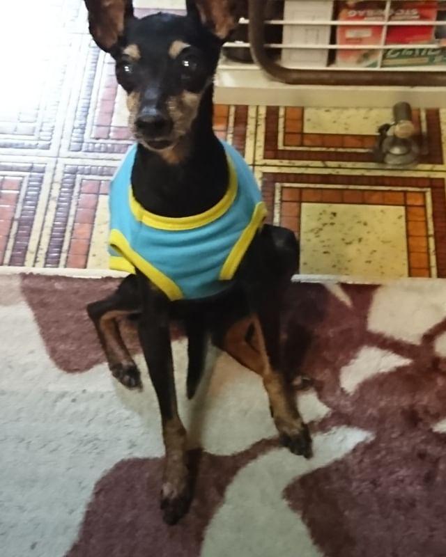 メラニーちゃん ご飯の前にしっぽを踏んでおすわり  #ペット保険 #犬の保険 #いぬとねこの保険 #犬 #いぬ #わんこ #dog #イヌ #日本ペット #dogs #トイマンチェスターテリア
