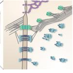 Check our latest manuscript on supramolecular architecture of epithelia: https://t.co/2XvwmKQmE4