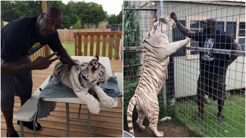 NBA球員養的奇葩寵物:歐肥的老虎和他一樣高,Arenas養鯊魚最土豪!