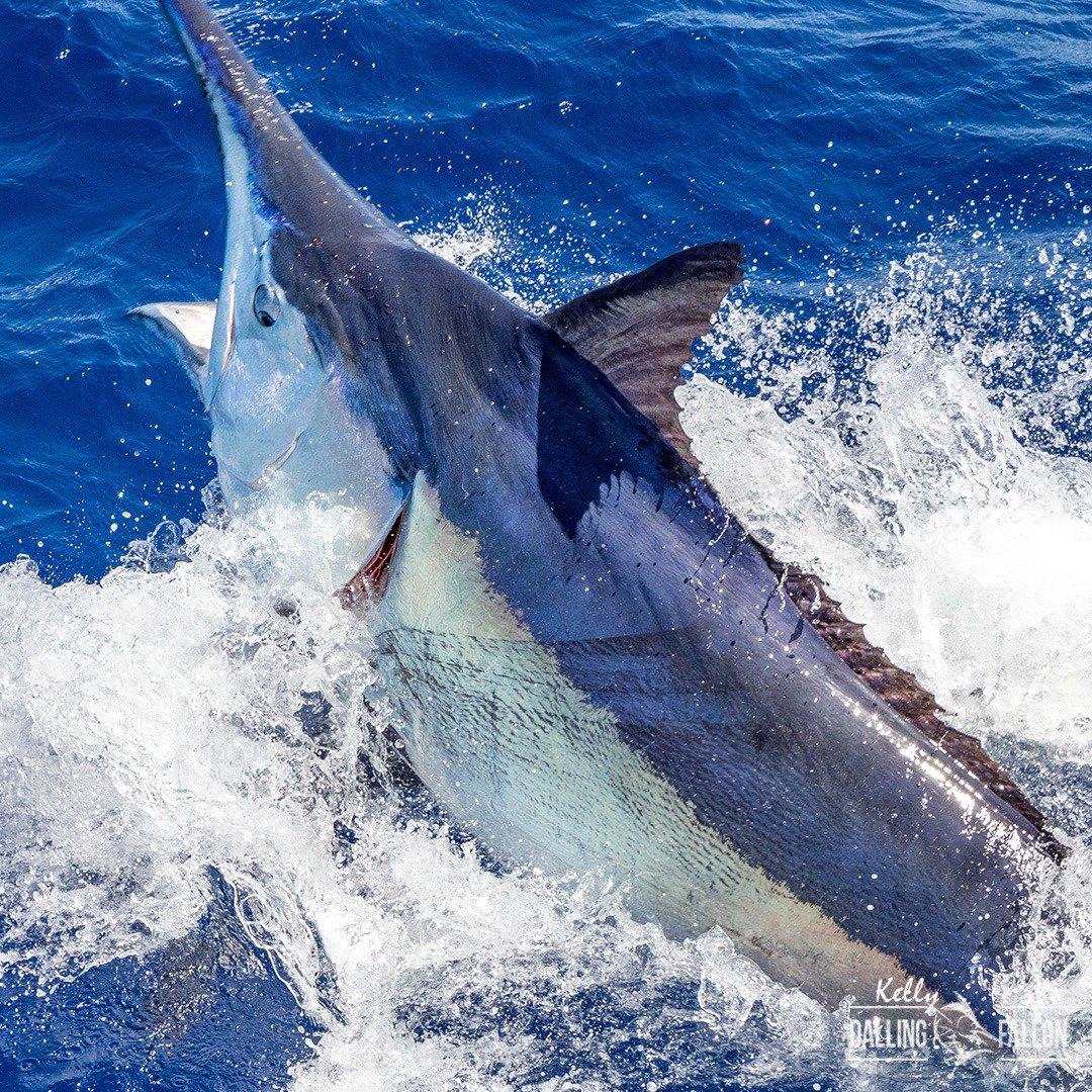 Cooktown, Aus - Kekoa released a Black Marlin. #GBR #ReefAlive #BlackMarlin