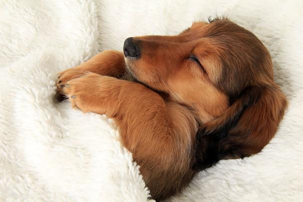 【犬がベッドの上で寝るのは何故?】犬は飼い主のベッドの上で寝ることが多くあります。これは、ベッドには飼い主の匂いが最も強く染み付いていて、犬にとって安心感のある好きな匂いな為、ベッドの上で寝てしまうことが多いそうです。