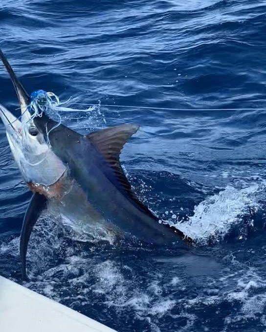 Bazaruto, Mozambique - Jam Pack went 2-3 on Black Marlin. #MozambiqueFishing #Bazaruto #BlackMarlin