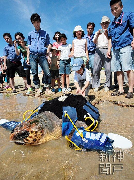 須磨海浜水族園はアカウミガメの雌「悠」が死んだと発表しました。2008年、紀伊水道で両前脚を失った状態で保護され、神戸空港島の人工池や同園で生活。機能を補うための「人工ヒレ」の開発も進められました