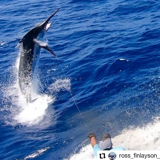 Cairns, Aus - Bounty Hunter released a Black Marlin. #CairnsFishing