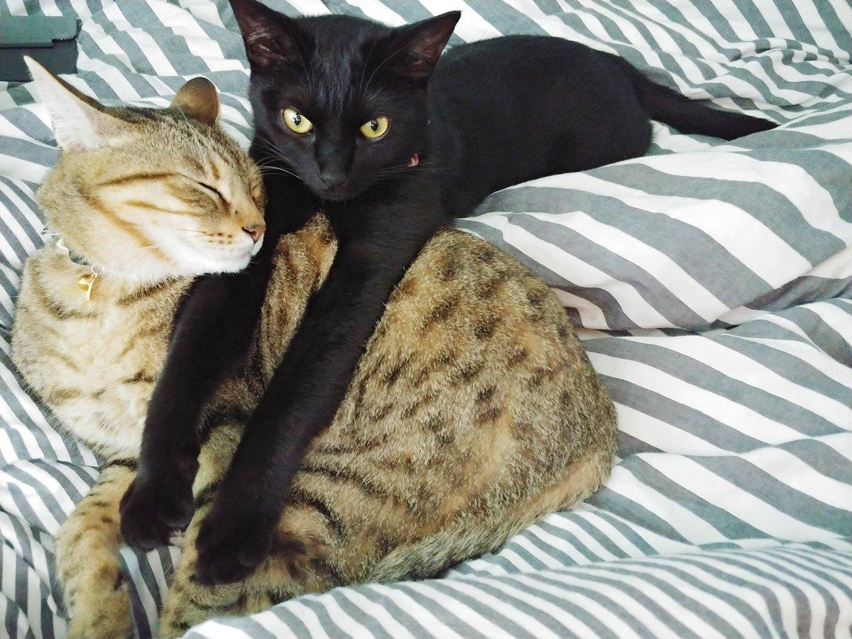 549日目。モチ…モチ…ギュム……今日もキジトラをクッションにする黒猫。(でもキジトラは最近人間が寝転がると腹の上にノッソリ伏せて目を閉じることが多いので、その甘えたギャップ姿に起き上がれなくなり時が過ぎる)(こちらが寝転がっても、くっつきはするが案外乗ってこないのが黒猫)