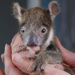 Image for the Tweet beginning: Australia zoo saves orphaned 1-lb