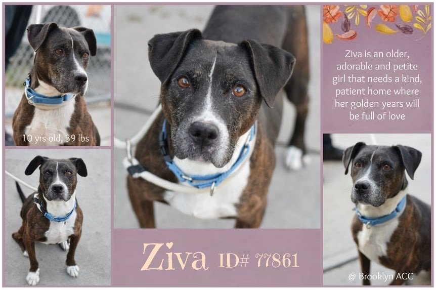 LOVERS OF SENIOR : ZITA, 10, adm stray!, shy, AT RISK TODAY SAT 12N, #nycacc, NH only! Pls see VID playing w/another dog! Pics of beauty girl here! Needs a soft landing, TLC, gentle walks, vet care. Can u be ZITA'S FUREVER? SOS = SAVE OUR SRS! PLS DM 2 brg her : CONTD <br>http://pic.twitter.com/Ve9KjbYBdC
