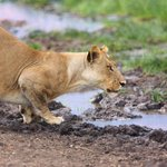 Image for the Tweet beginning: A lioness's drinking session is